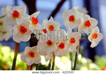 Daffodil Geranium, Narcissi Tazetta