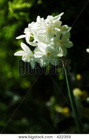 Paperwhite Ziva Tazetta Daffodil