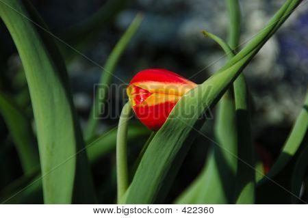 Shy Tulipa Kees Nelis Tulip