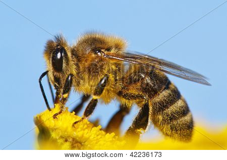 detail of honeybee