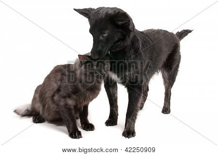 Black dog and cat on studio white background
