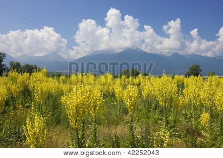Yellow Field Of Mullein With Pirin Mountains