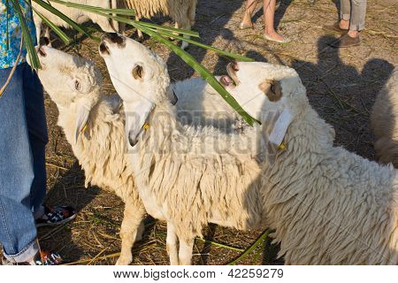 Sheep Eat Grass2