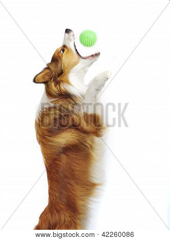 sable border collie catch a ball isolated on white
