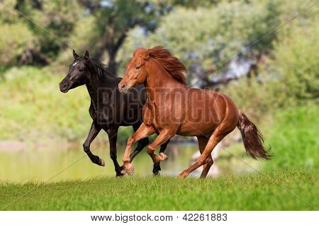 two black and chestnut horses running in summer meadow
