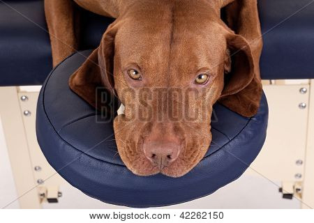Rusty Dog Laying N Massage Table