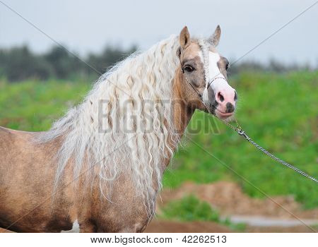 The palomino welsh mountain stallion