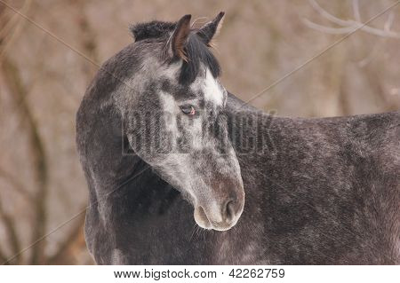 Portrait of dappled horse at sunny winter day