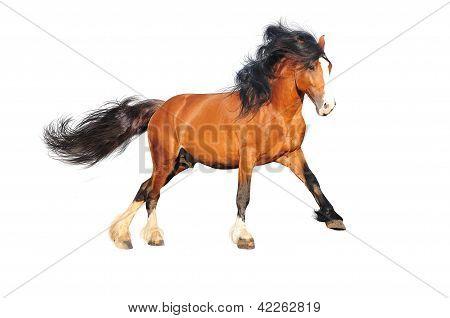 draft horse isolated on white