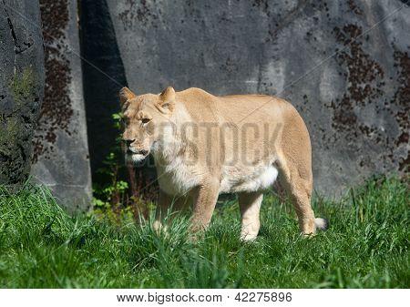 Lioness In Sun