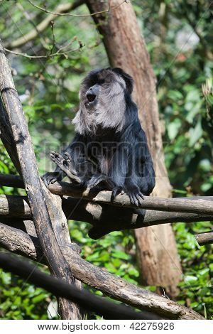 Black Monkey Enjoying Sunshine In A Tree
