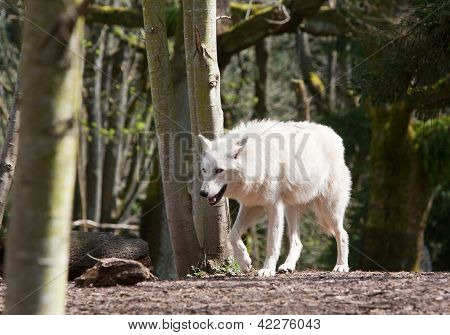 White Wolf On The Hunt
