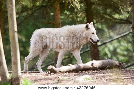 White Wolf Stalking