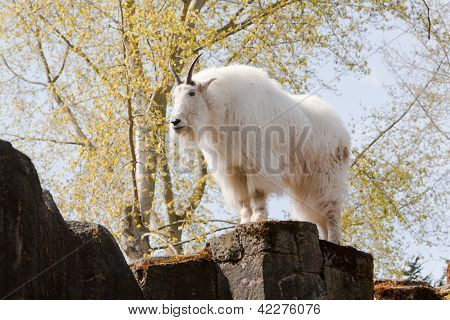 Mountain Goat On Rock