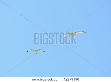Two European Herring Gull (larus Argentatus) In Blue Sky