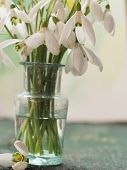 stock photo of snowbell  - beautiful snowdrops - JPG