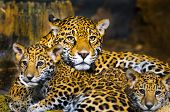 stock photo of panther  - Little Baby Jaguar playing with its mother - JPG