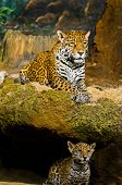 Постер, плакат: Jaguar детенышей