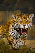 stock photo of tiger cub  - Roaring Adult Female Jaguar looking into the camera - JPG