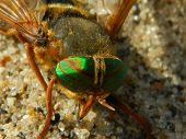stock photo of gadfly  - the gadfly was lying on the sandy shores of the sand  - JPG