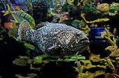Blacksaddled Coralgrouper Fish I