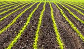 stock photo of zea  - Field with rows of maiz  - JPG