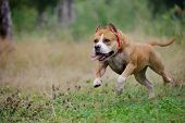 stock photo of staffordshire-terrier  - american staffordshire terrier run in the forest - JPG