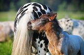 pic of appaloosa  - A color photo of a beautiful brown horse standing next to a young appaloosa stallion - JPG