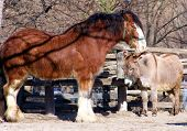 stock photo of clydesdale  - a clydesdale horse and a donkey snuggling - JPG