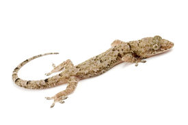 picture of hemidactylus  - Photo of Residential gecko - JPG