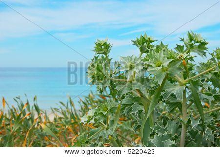 Sea Holly