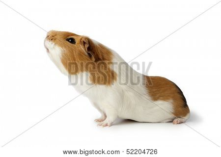 Nosy guinea pig on white background