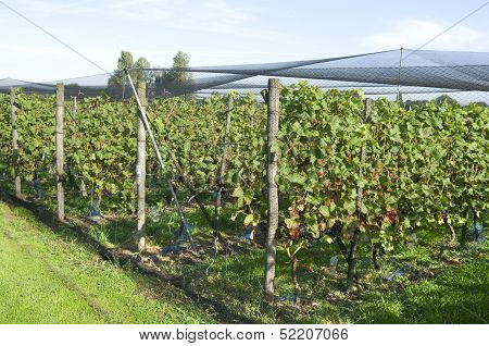 Grapes Plants Are Protected By A Protective Net In A Vineyard In Ter Aar In Netherlands.