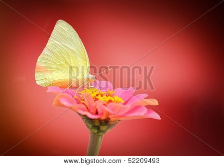 Pretty & Cute White Butterfly On Pink Zinnia Flower On A Summer Day