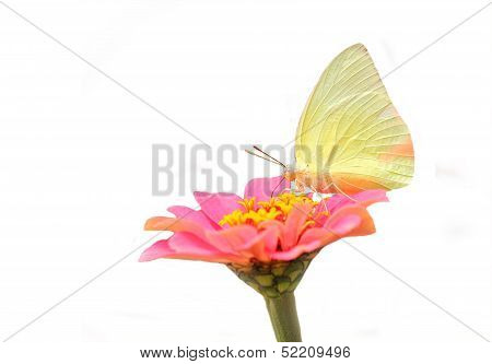 Pretty & Cute White Butterfly On Pink Zinnia Flower On White