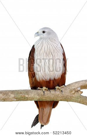 Brahminy Kite Red Backed Sea Eagle Haliastur Indus