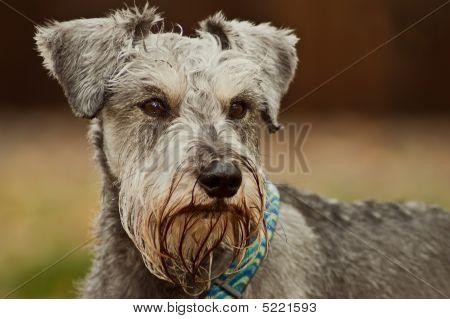 Minature Schnauzer Dog Close Up