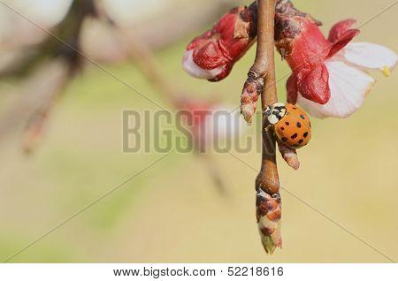 Asian Ladybug On Apple Tree