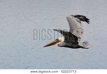 Brown Pelicans, Pelecanus occidentalis, live along southern and western sea coasts and are rarely seen inland.