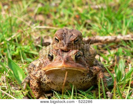 American Toad 03