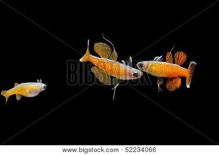 Aquarium fish: Pseudomugil pascai neon red