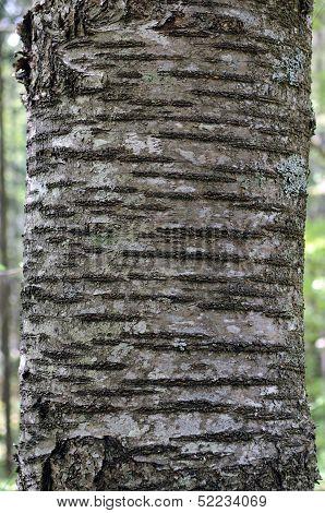 Bark Of Wild Cherry (Prunus avium)