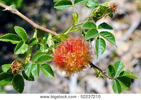 Rose Bedeguar Gall On A Dog Rose (rosa Canina)