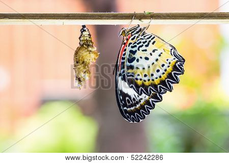 Female Leopard Lacewing Butterfly