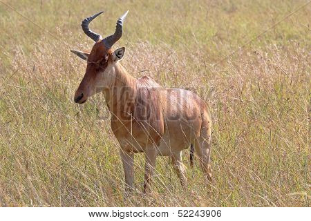 A Hartebeest Standing