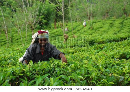 Lady Tea Worker At The Plantation