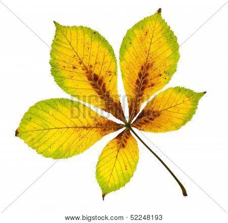 Autumnal Horse Chestnut Leaf