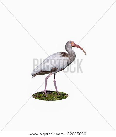 Young Ibis Gazing Upward