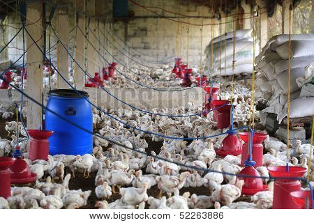 Rural Poultry Farm With Young White Chicks Bred For Chicken Meat.