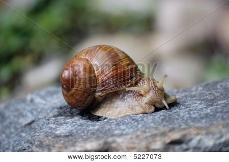 Snail On A Rock